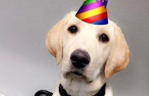 Golden Lab wearing a birthday hat