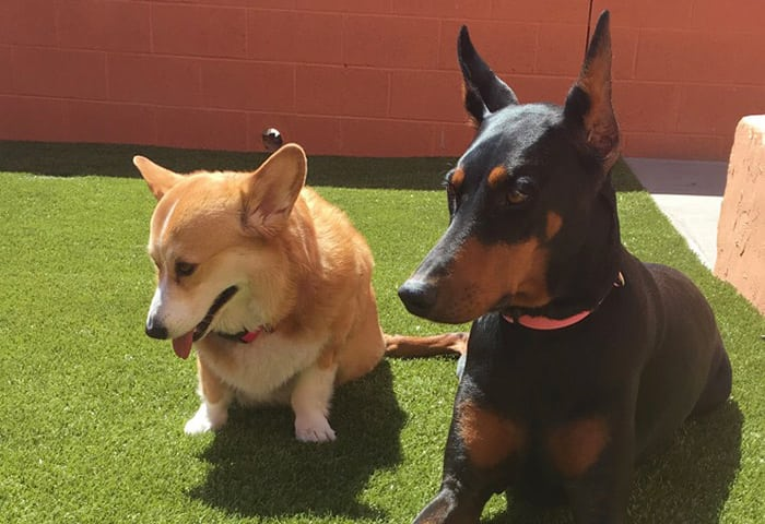 Corgi and German Pinscher lying on grass in the sun