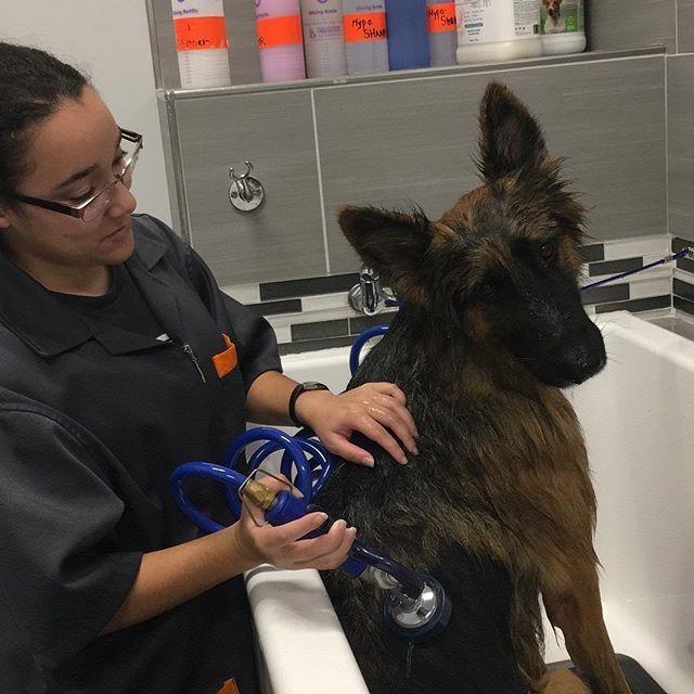 Shelby Giving Cruz The German Shepherd A Shampoo & Conditioning Bath