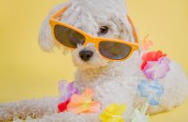 puppy with sunglasses on