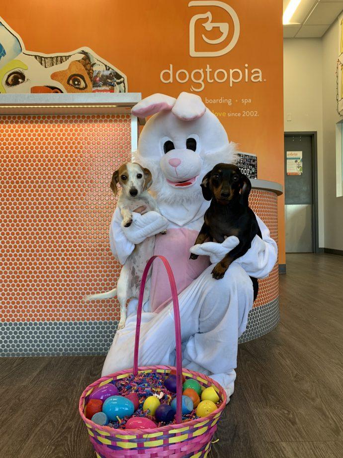 Easter Bunny holding 2 Mini DachShund ( Mira & Korra )