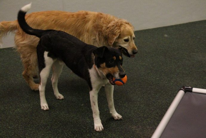 Cody and Flipflop playing at Dogtopia