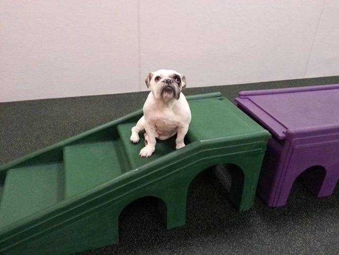 bulldog at play