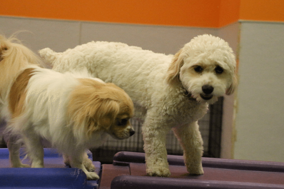 Shih Tzu Winston and Cockapoo Willow play in the Toybox at Dogtopia Erindale in Mississauga!