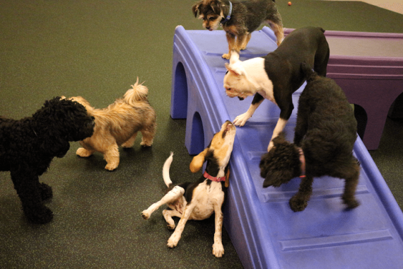 Dogs play and greet at Dogtopia Erindale in the Toybox!