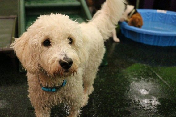 Wet doodle after a pool party at Dogtopia Erindale!