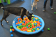 Dog heads into the Dogtopia ball pit looking for something!
