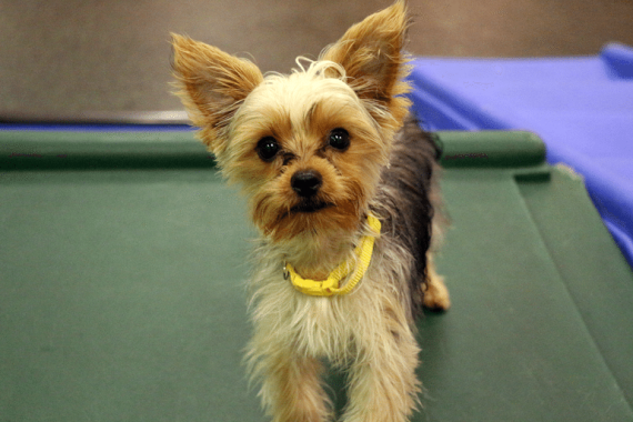 Yorkshire terrier puppy at Dogtopia Erindale since he was three months old!