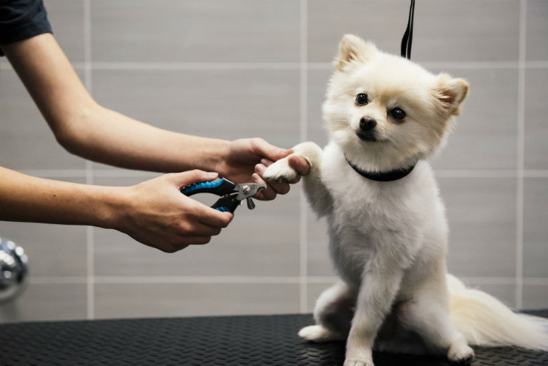 Small white dog getting its nails trimmed at Dogtopia of South Austin Spa.
