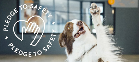 """Border collie raising a paw. Logo on the picture says """"Pledge to safety"""".   Dogtopia of Round Rock"""