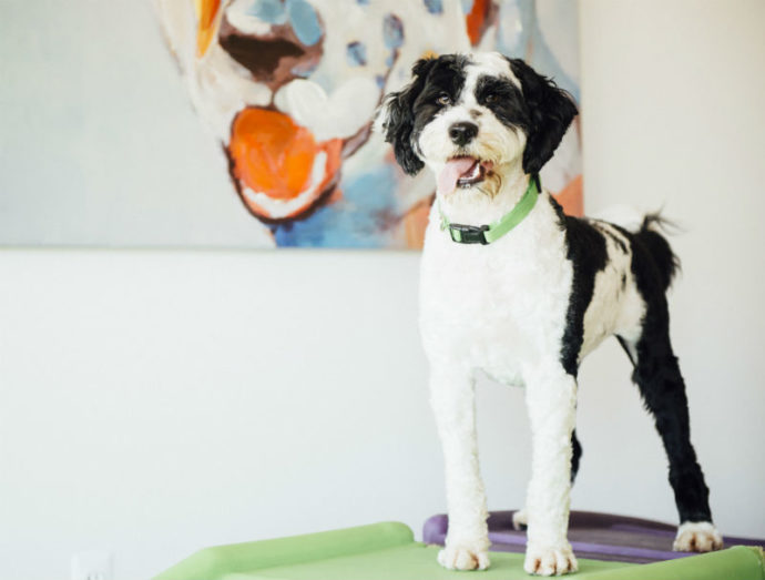 Black and white dog posing to the camera at Dogtopia of South Waterfront daycare.