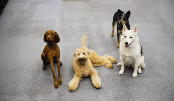 Four dogs posing to the camera at Dogtopia of Paradise Valley Village.