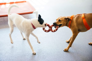 Two dogs chewing a toy at Dogtopia of New Location playroom.