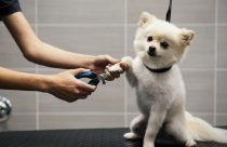 Small white dog getting its nails trimmed at Dogtopia of Deer Park Spa.