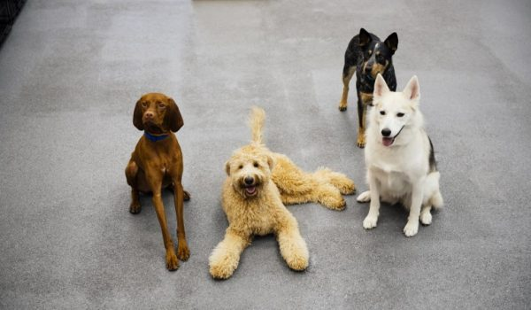 Four dogs posing to the camera at Dogtopia of Charlottesville.
