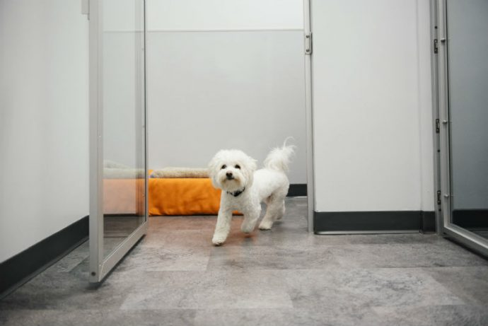 Small white dog is running into the open doors of boarding playroom at Dogtopia of Geneva.
