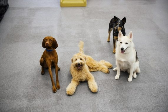 Four dogs posing to the camera at Dogtopia of Cypress.