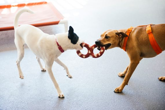 Two dogs chewing a toy at Dogtopia of Cypress playroom.