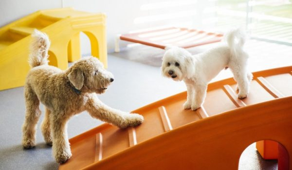 Two dogs playing with each other at Dogtopia of Applewood playroom.