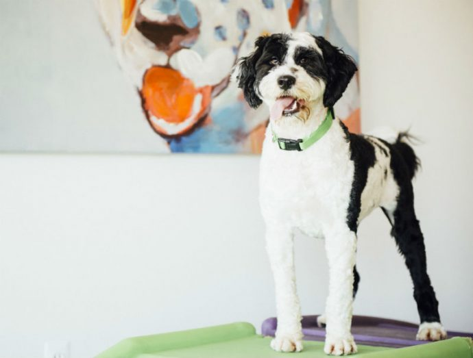 Black and white dog posing to the camera at Dogtopia of Olathe daycare.