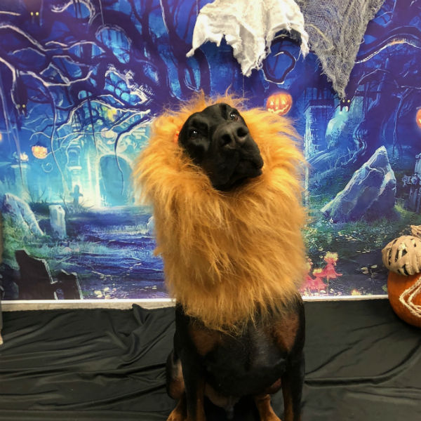 Dog dressed up as a lion for Halloween