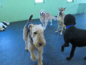 Welsh terrier with other dogs