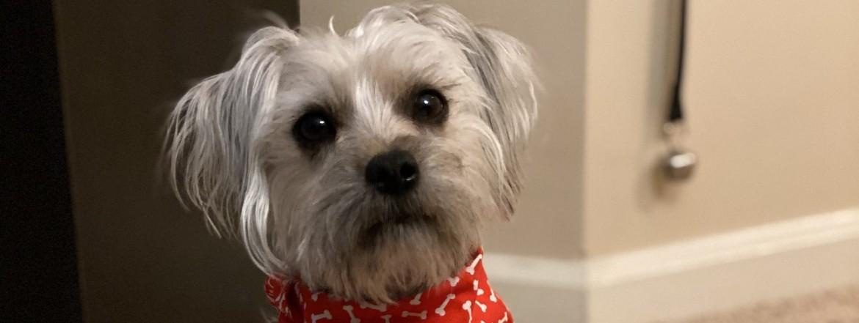 a white puppy wearing a bandana