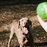 a hand getting ready to throw a ball to a brown dog
