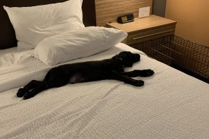 A black dog lies across a white bed