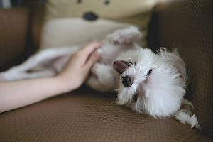 a hand petting a white dog