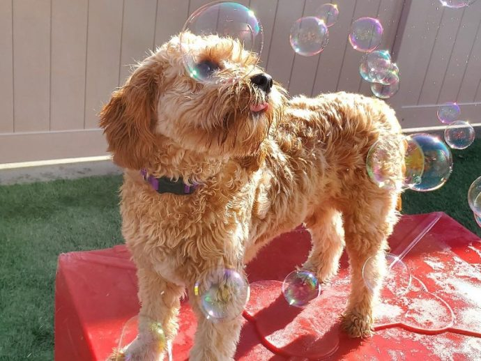 A yellow dog outside playing with bubbles