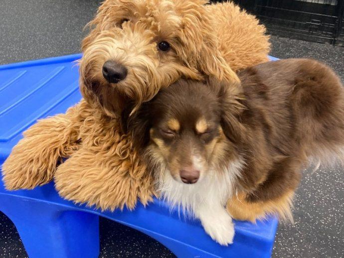 Two dogs cuddle on a blue plastic bridge