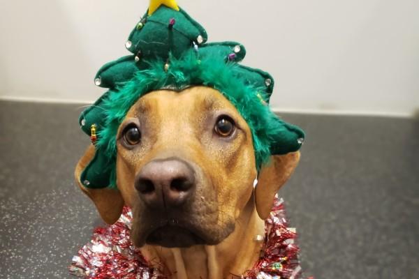 A dog with a christmas tree headband