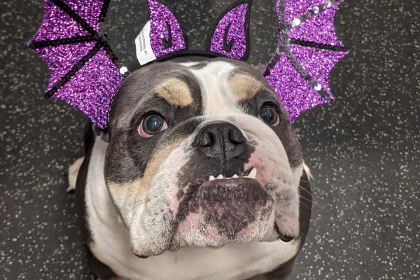 bulldog with purple wings on its head