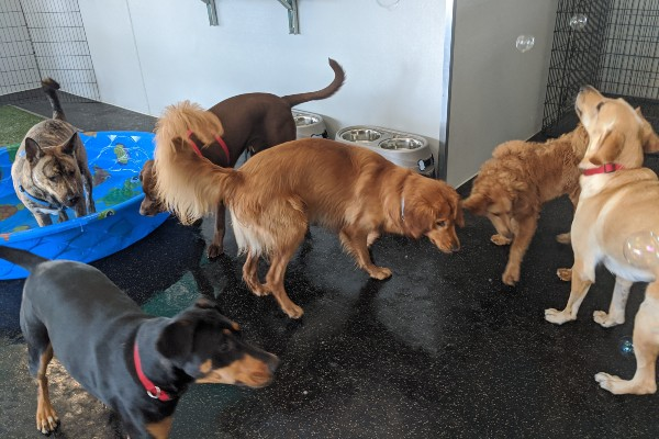 5 dog playing in playroom