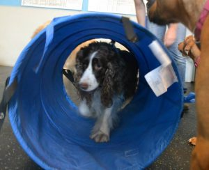 Stella, Springer Spaniel trying out the agility tunnel