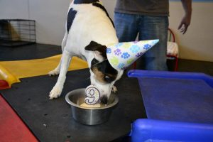 Rob, Jack Russel Terrier on his 9th Birthday