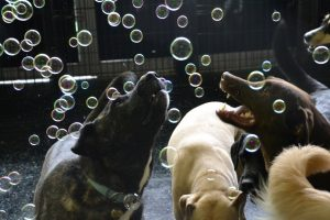 Cleo, Rottweiler Mix and Gunner, Labrador Retriever catching bubbles