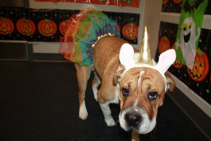 Zoey the English Bulldog/Shar Pei Mix