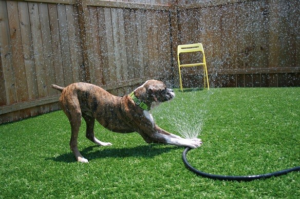 Dog Playing With Sprinkler