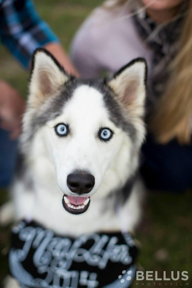 Cute Husky Pup